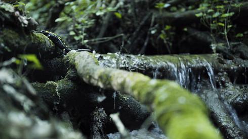 A szalamandra élőhelye, Budai-hegység