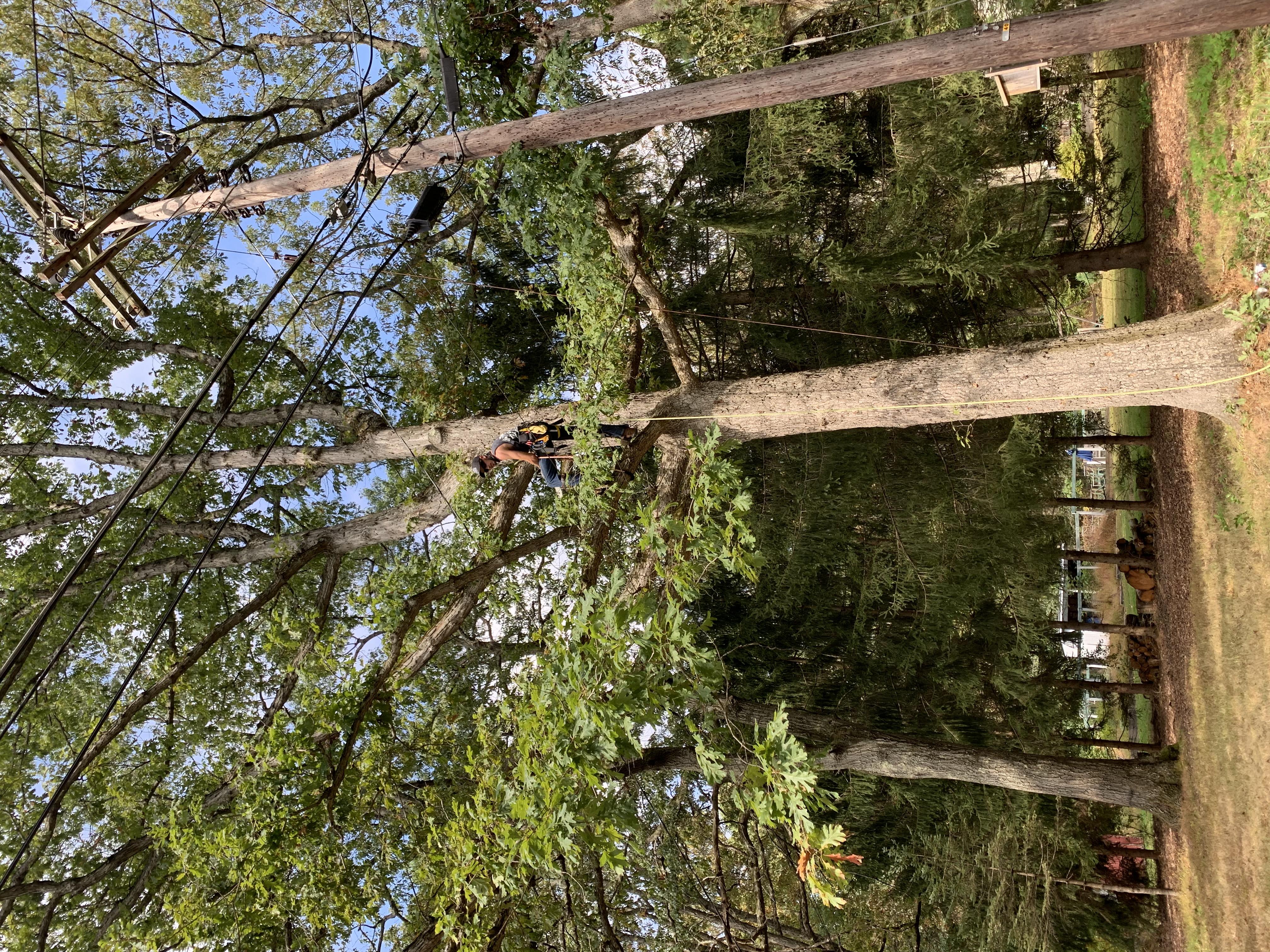 Oak Prune