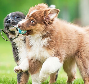 two-dogs-playing-with-a-ball-in-grass.jp