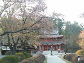 聖光寺の桜、葉桜に。蓼科もいよいよ初夏!