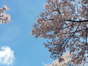 横谷峡に、桜咲く!