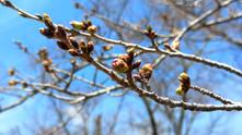 蓼科湖・聖光寺の桜、今年はGWが見頃になりそう?
