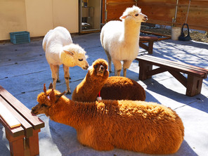 横谷峡アルパカ広場の仲間4頭がやって来ました