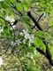 蝦夷の小リンゴの花が満開!