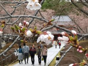 聖光寺の桜、咲きました!