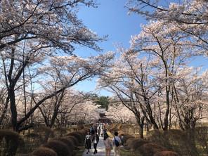 聖光寺(蓼科湖近く)で300本の桜が満開!