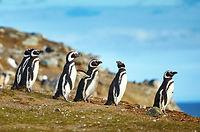 pinguinos-isla-magdalena.jpg