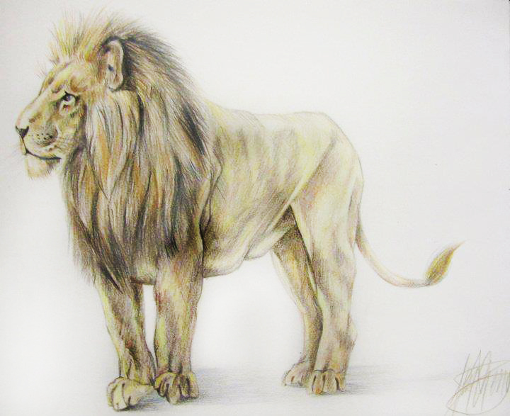 Coloured pencil drawing of a lion