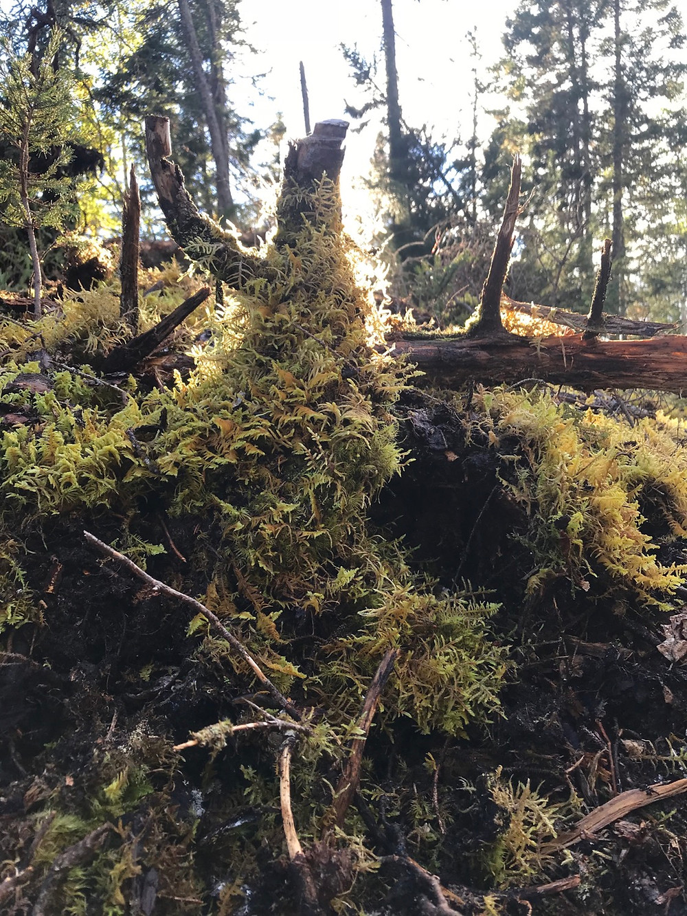 A picture of a stump covered in moss near our cabin land