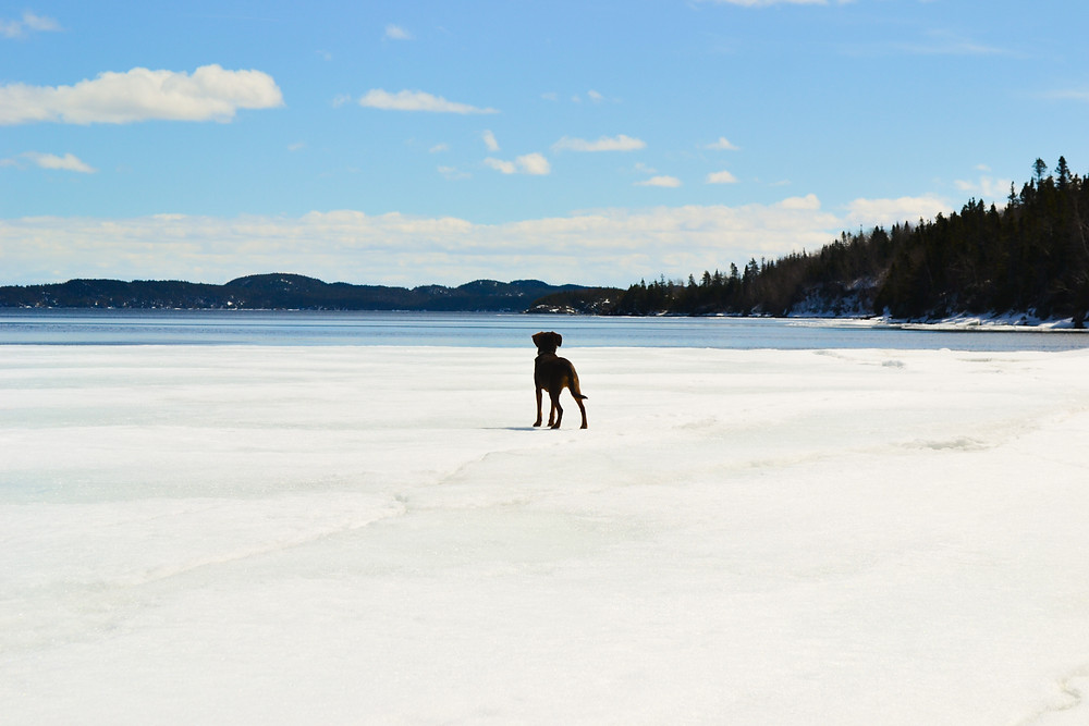 A dog standing on the edge of the ice on the ocean