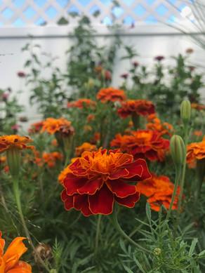 Marigold Season