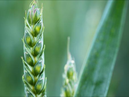 La paciencia de un grano de trigo.
