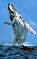 samana punta cana baleias
