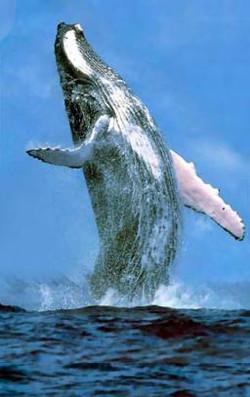 observação de baleias punta cana