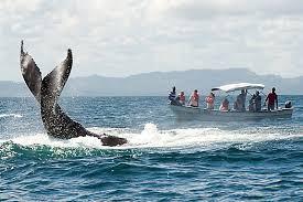 Baleias Jubarte Samaná