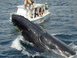 baleia jubate samana