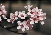 branche cerisier.jpg