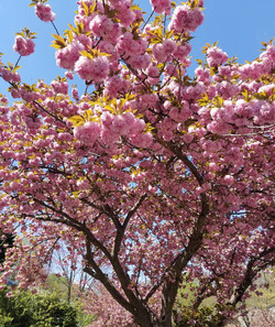 Cherry Tree - Cropped.jpg