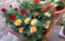 rose-invaso.jpg