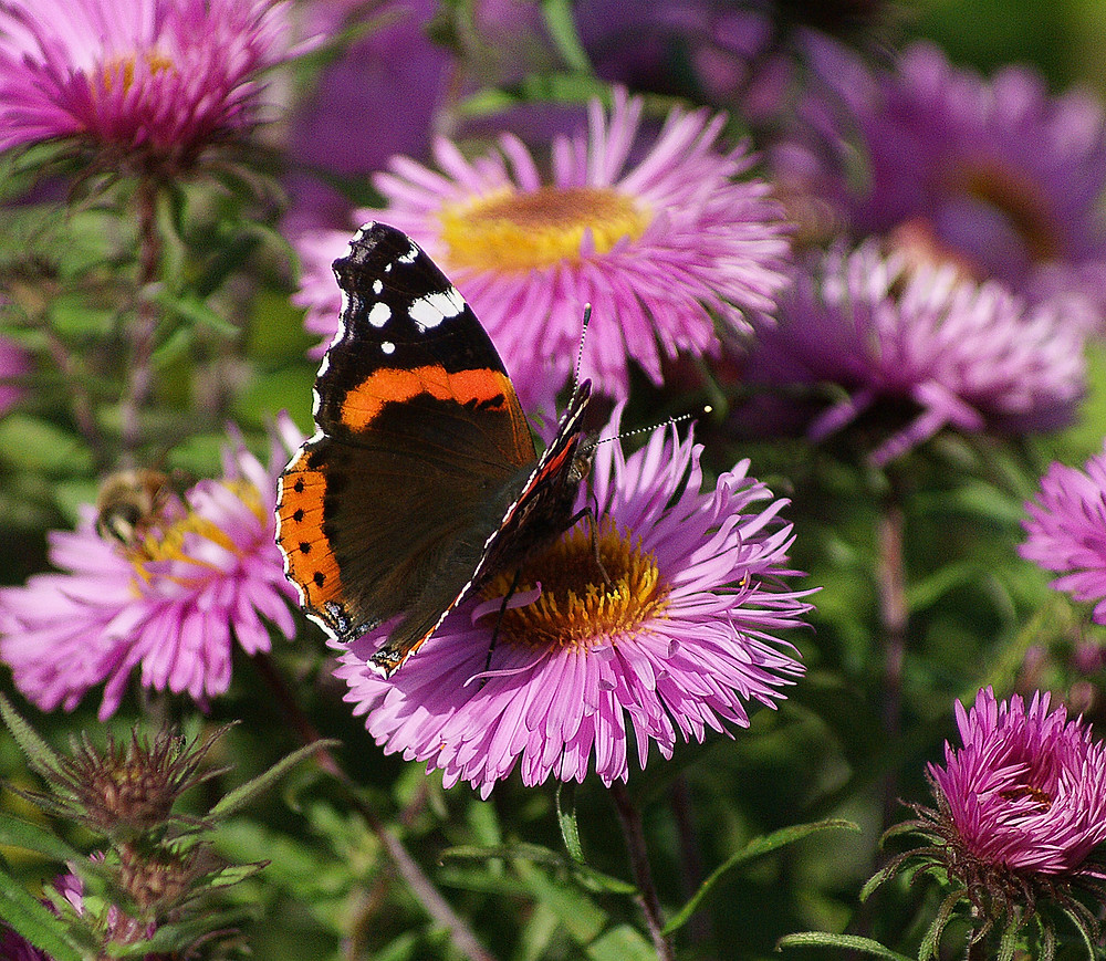 butterfly-astra-rusalka-garden-2
