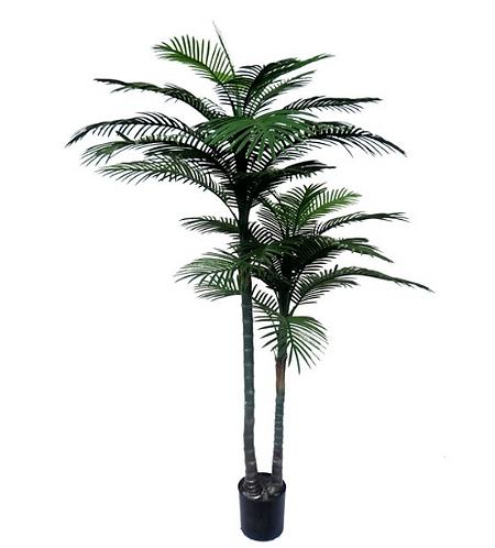 Robellini Palm tree