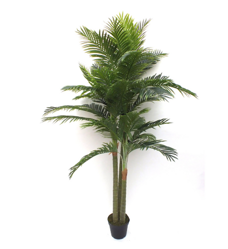 Double Headed Fan Palm tree