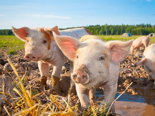 Humanely-Raised and Truly-Pastured Hogs Are becoming a reality!