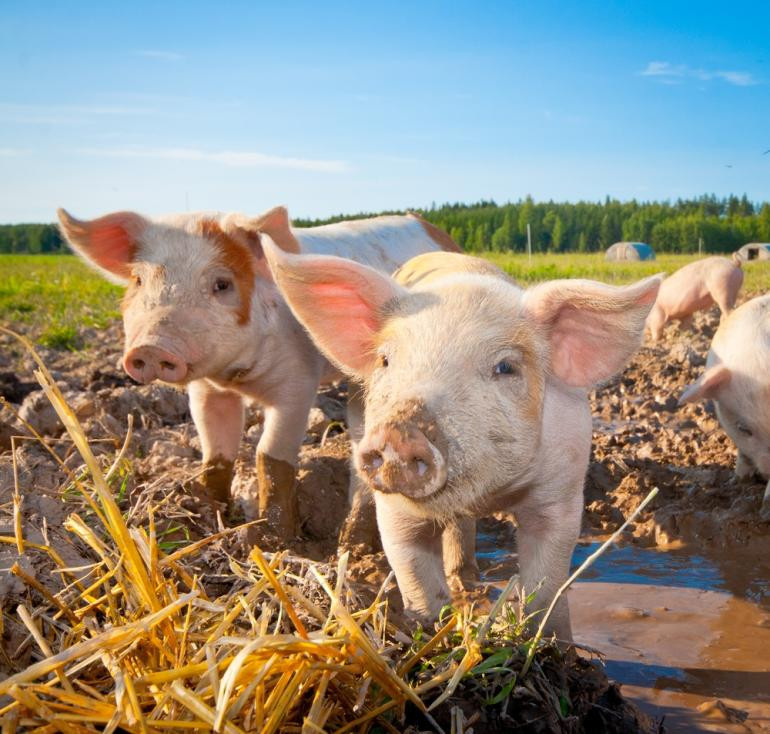 hogs-pigs-sweden-shutterstock_0.JPG