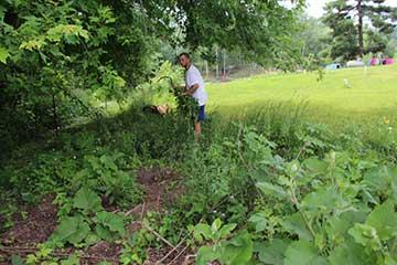Motherwort Harvest