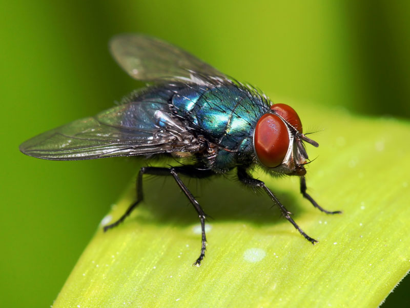 Top 10 Natural Ways to Prevent and Eliminate Fly Problems | Will ...