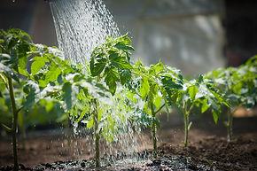 トマト水やりs.jpeg