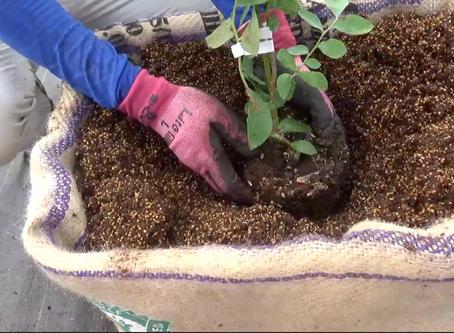 ブルーベリー苗木を植える