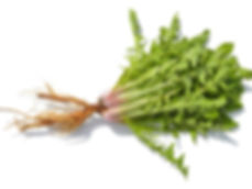 PRVNT Dandelion   Prevent Your Next UTI