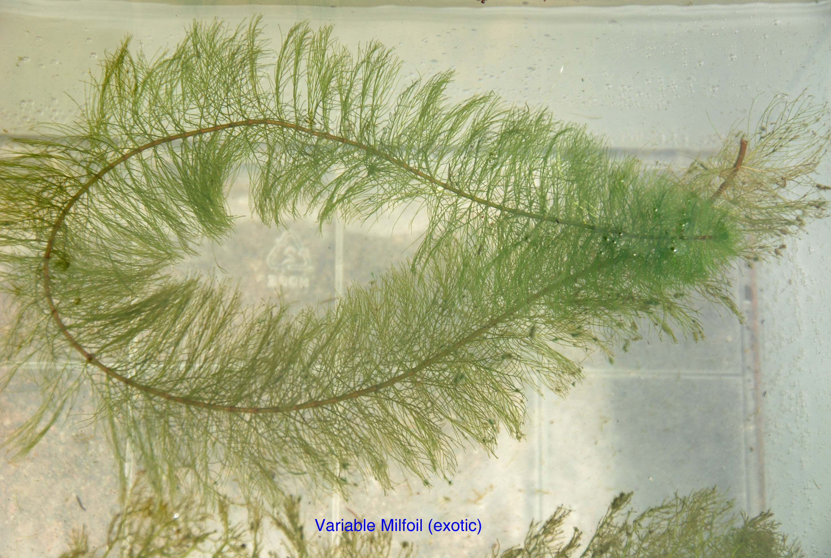 Variable Milfoil.jpg