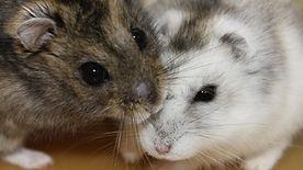 siberian_hamster.jpg