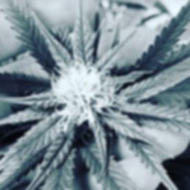 #cannabiscommunity #cannabis #cannabisculture #marijuanamodels #cannabisdc #medicalmarijuana #medica