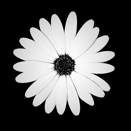 Tableau Fleur Blanche collection NATURE 60 x 60 cm