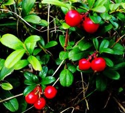 Airelles rouge en Suède