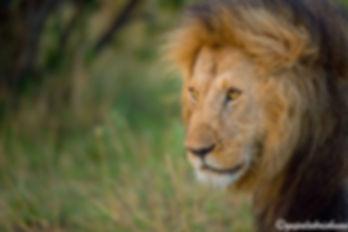 Mara Lions|lions|kenya