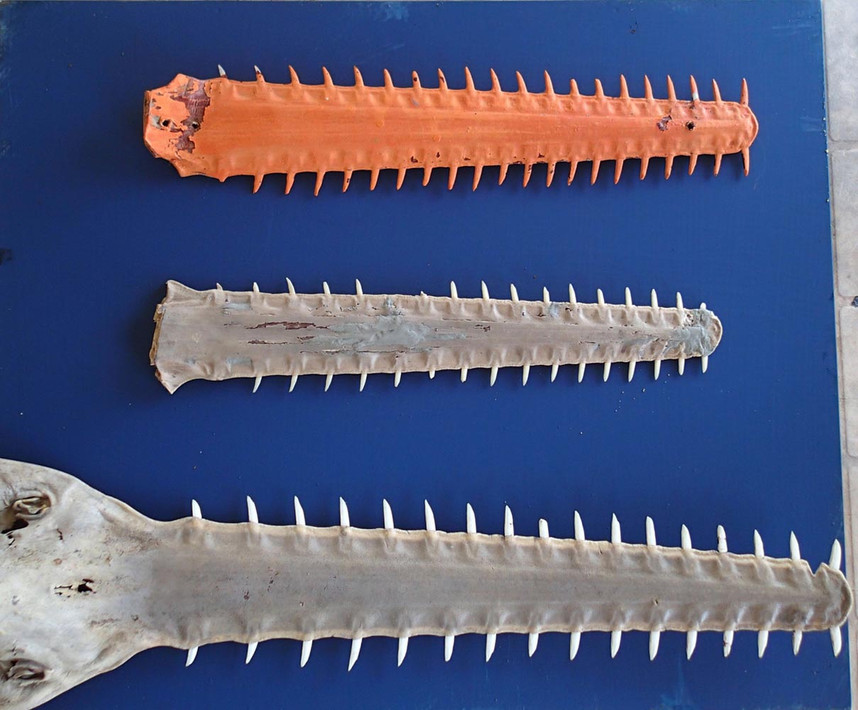 Donated Sawfish Rostra