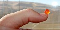Chinook Egg