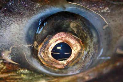 Fall Chinook eye