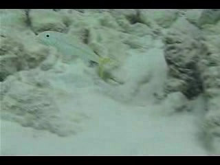 Goatfish foraging in sandy patches among coral outcrops