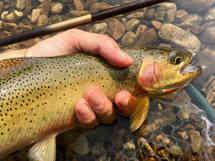 Cutthroat trout on tenkara, St. Joe River