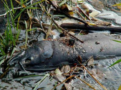 Coho carcass, Lapwai Creek