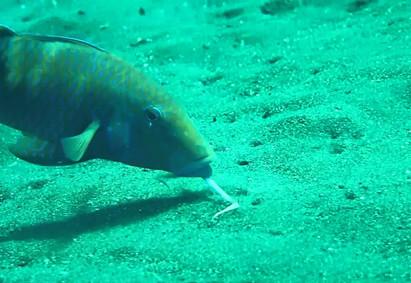Goatfish feeding