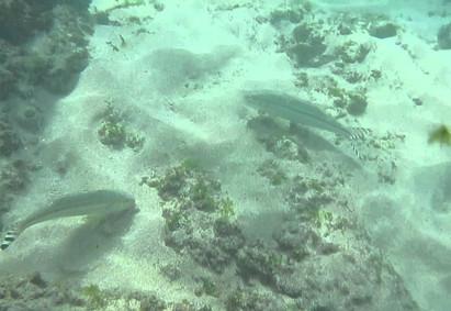 Goatfish foraging