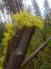 Lichen Mullet