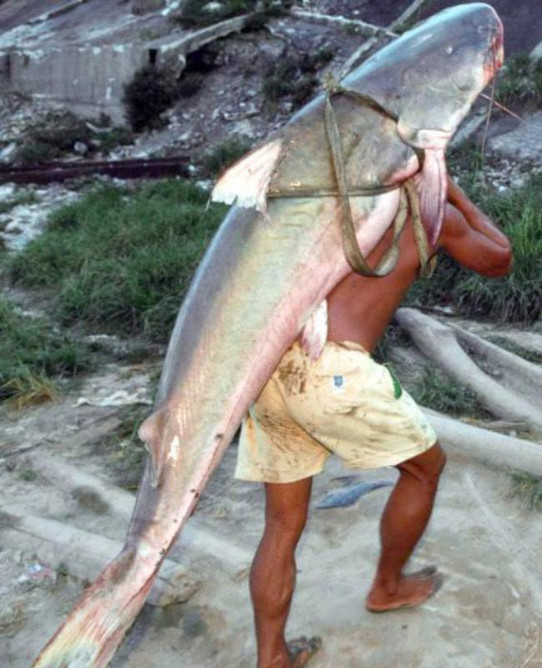 Large Piraíba Catfish