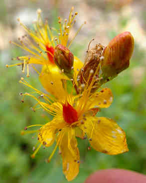 Wetland Flower on Upper Big Creek